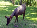 Sambar deer are the easiest animals to spot in Khao Yai